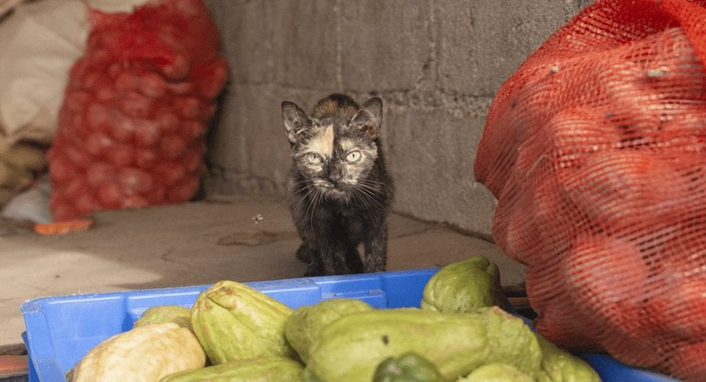 Why Your Cat Should Not Be Vegetarian