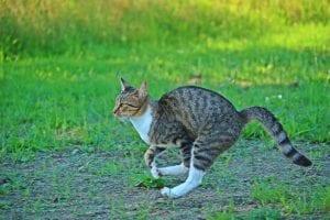 cat taurine