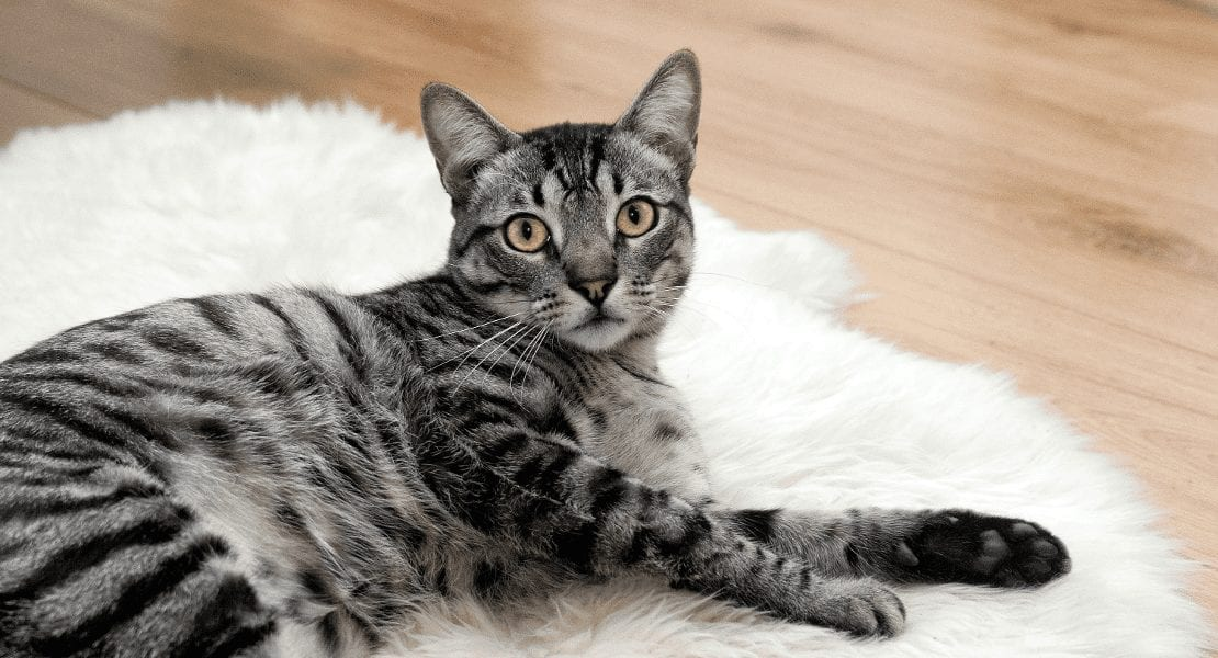 Diabetes In Cats: 5 Warning Signs