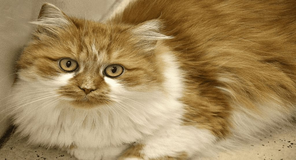 5 Long Haired Cats That Make Great Pets