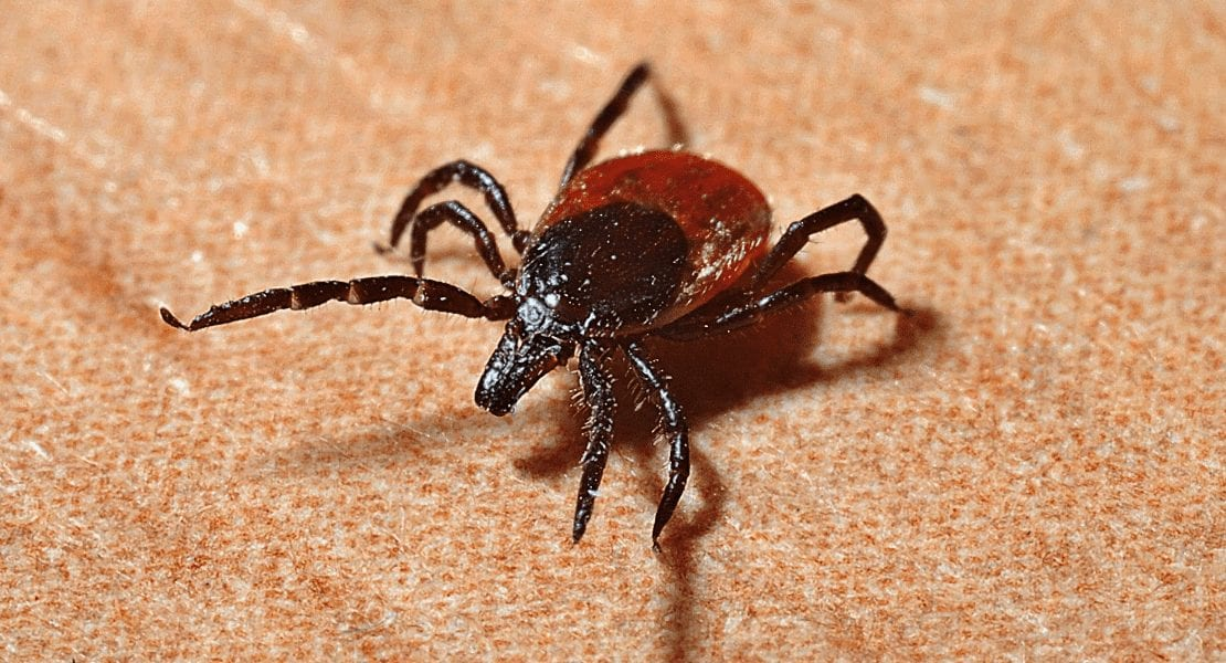 How To Deal With Flea And Ticks For Dogs