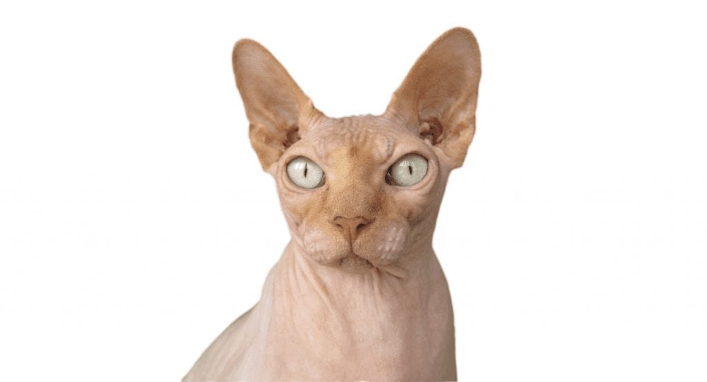 Cat Breeds: Are Hairless Sphynx Really Hypoallergenic Cats?