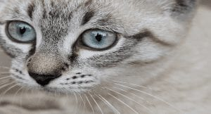 The Second Life Cycle of a Cat: Adolescent (6-12 months)