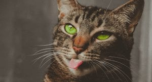10 Tongue Out Tuesday Cats That Frankly, No Cat Lover Should Miss