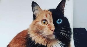 The Truth About The Magical Two Face Chimera Cat