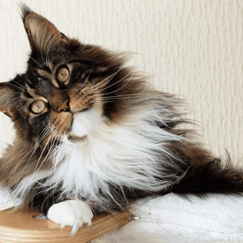 personality Maine Coon Cat