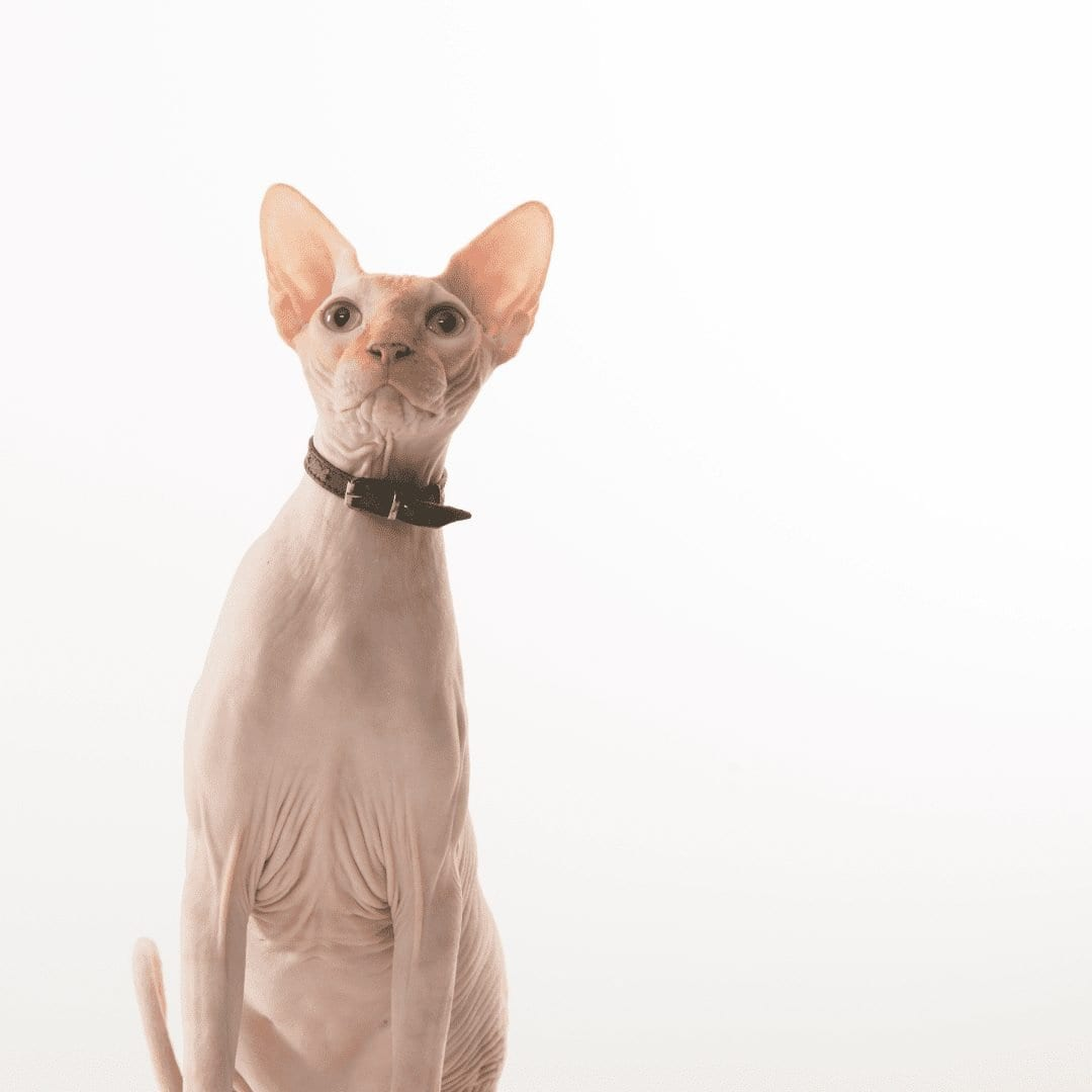 What Type of Health Problems Do Sphynx Cats Have?