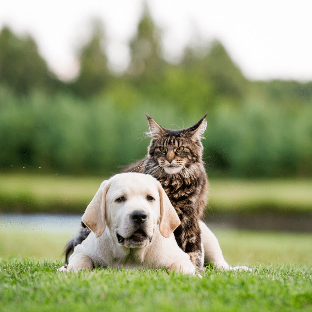 Introducing a Maine Coon cat to a dog