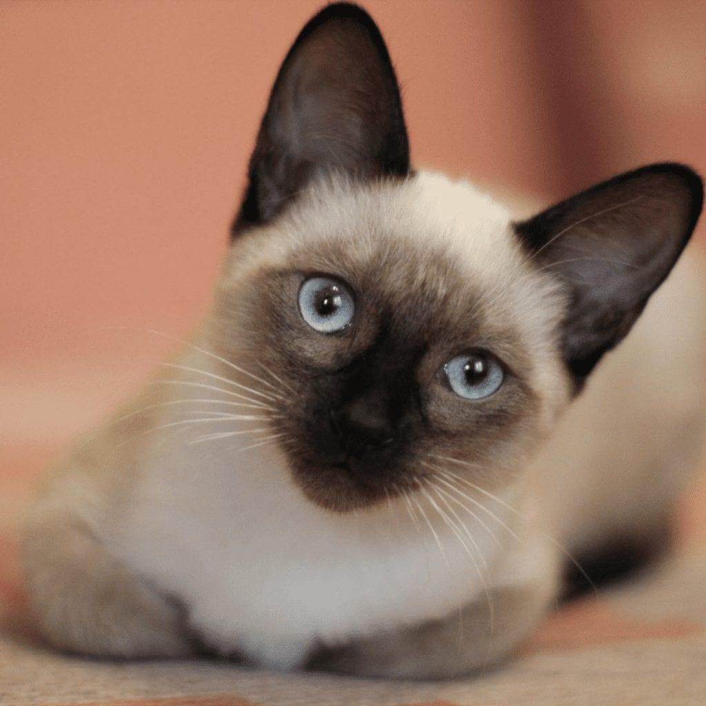 Do Siamese cats make good pets?