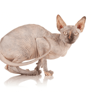 Are Sphynx Cat Butts Sticky?