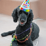 poodle's birthday