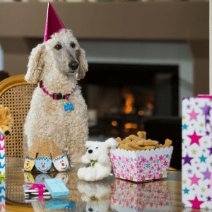 poodle dog birthday