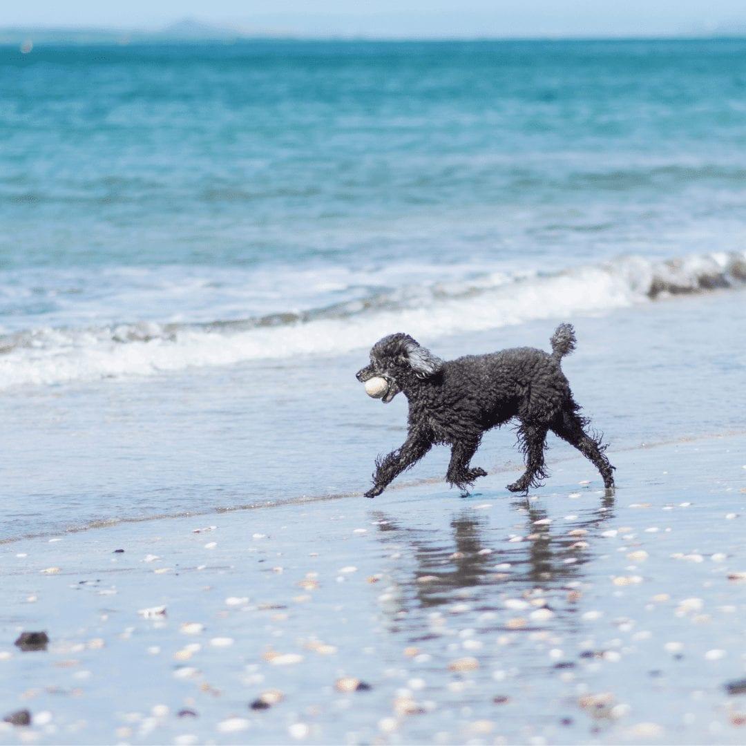 can poodles swim